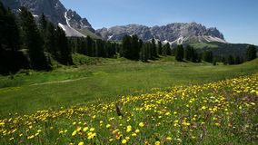 Panning mening van Sass Ciampac Ciampatsch met een voorgrond van europaeus van Trollius van globeflowerwildflowers in het Dolomie stock video