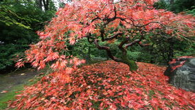 Panning Movie of Red Laced Maple Tree in Autumn Season in Portland Japanese Garden 1080p stock video footage
