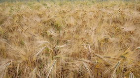 Panning nad pszenicznym polem zdjęcie wideo