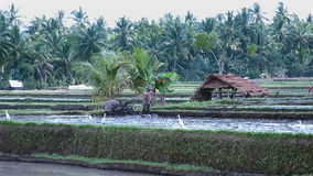 Panning over farmers working on paddy rice fields in Indonesia. Beautiful landscape scene of rice fields in water and forest in background stock footage
