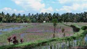 Panning over paddy rice fields in Indonesia on sunny day. Rice growing in water with no one around stock footage