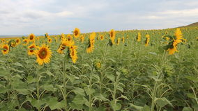 Panning over sunflowers field stock video footage