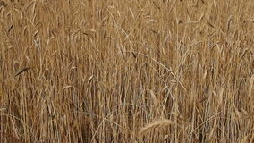 Panning over wheat field in summer stock video