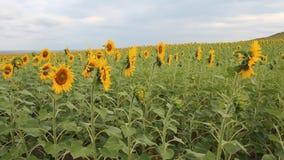 Panning over zonnebloemengebied stock videobeelden