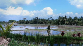 Panning paddy irrigated rice fields in Indonesia. Beautiful landscape scene of rice fields in water and forest in background stock video footage