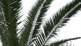 Panning through palm leaves. Grey sky stock video