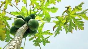 Panning- Papaya tree stock video footage