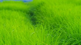 Panning of rice seedling stock video footage