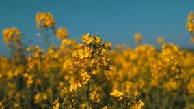 Panning ruch jaskrawy żółty kwiat zakłada w łące w UK po środku wiosny zbiory wideo
