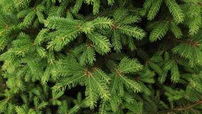 Panning shot of a green spruce branches as a textured background. stock footage