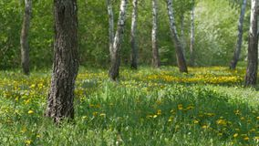 Landscape with birch trees and dandelion flowers. Panning shot of landscape with birch trees and dandelion flowers stock video footage