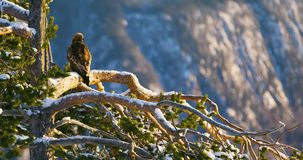 Golden eagle sits in tree at the top of the high mountains at winter. Panning shot of large golden eagle sits on a tree in the high mountains in the winter stock video footage