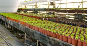 Potted plants on table in greenhouse stock video