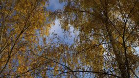Panning shot of treetops in autumn, with falling leaves. Sunny day stock footage