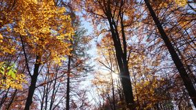 Panning shot of treetops in autumn, with leaves changing color. And the sun shining through the foliage stock footage