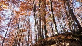 Panning shot of treetops in autumn, with leaves changing color. And the sun shining through the foliage stock video