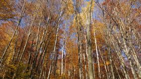 Panning shot of treetops in autumn, with leaves changing color. And peaceful forest stock video