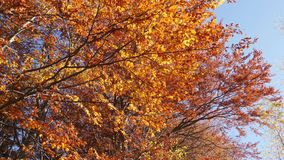 Panning shot of treetops in autumn, with leaves changing at sunny day. In peaceful forest stock footage