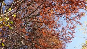 Panning shot of treetops in autumn, with leaves changing at sunny day. In peaceful forest stock video