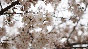 Panning strzał czereśniowego okwitnięcia drzewni kwiaty przyprawia zdjęcie wideo