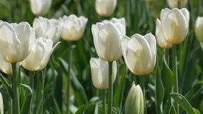 Panning strzał tulipany zbiory