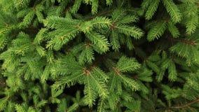 Panning strzał zielona świerczyna rozgałęzia się jako textured tło zbiory