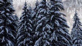 Panning up na sosnach folować z śniegiem zdjęcie wideo