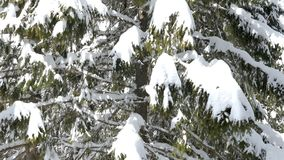 Panning up on pine tree full with snow. In bright day stock video