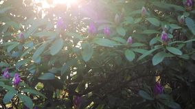Panning up through rhododendron. On a sunny morning stock footage
