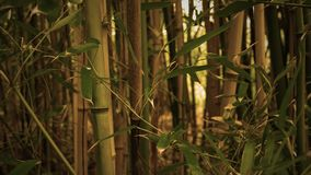 Panning upward over cinematic golden sepia magical bamboo forest in morning.  stock video footage