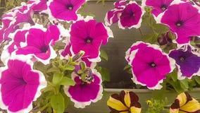 Panning van de Altvioolwittrockiana van de tuinbloem in langzame motie stock video