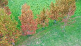 Panning view aerial drone of coniferous pine forest in early autumn in Taiwan. Panning view aerial drone of coniferous pine forest in early autumn season in stock video footage