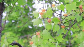 Panning up tulip tree. Panning view of american tulip tree in bloom stock video
