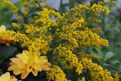 Panno delle fioriture dorate d'oro della barretta Fotografie Stock