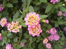 Panno rosa del fiore dell'oro immagine stock libera da diritti