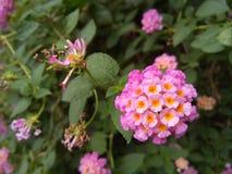 Panno rosa del fiore dell'oro fotografie stock libere da diritti