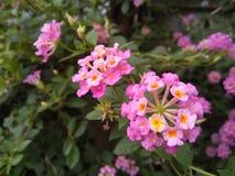 Panno rosa del fiore dell'oro fotografia stock