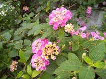 Panno rosa del fiore dell'oro fotografia stock libera da diritti