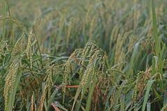 Pannocchia del riso nel giacimento del riso con calo di rugiada nel primo mattino Fotografie Stock Libere da Diritti