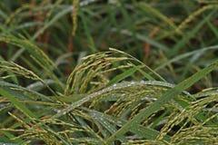 Pannocchia del riso nel giacimento del riso con calo di rugiada nel primo mattino Fotografia Stock