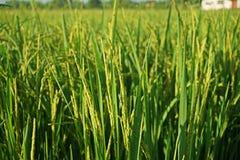 Pannocchia del riso nella fase di fioritura immagine stock