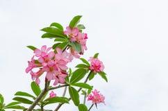 Pannocchia della rosa del deserto rosa Fotografia Stock Libera da Diritti