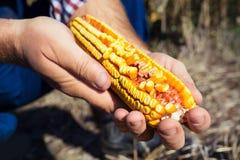 Pannocchia di granturco della tenuta dell'agricoltore a disposizione nel campo di grano Immagine Stock Libera da Diritti