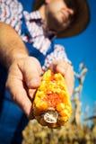 Pannocchia di granturco della tenuta dell'agricoltore a disposizione nel campo di grano Fotografia Stock Libera da Diritti