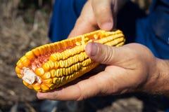 Pannocchia di granturco della tenuta dell'agricoltore a disposizione nel campo di grano Immagini Stock