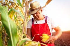 Pannocchia di granturco della tenuta dell'agricoltore a disposizione nel campo di grano Fotografia Stock