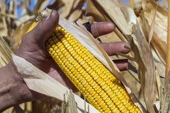 Pannocchia di granturco della tenuta dell'agricoltore a disposizione nel campo di grano immagine stock