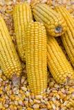Pannocchia di granturco e nocciolo di cereale Fotografia Stock Libera da Diritti