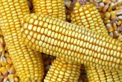 Pannocchia di granturco e nocciolo di cereale Fotografie Stock Libere da Diritti