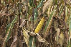 Pannocchia di granturco nel campo di grano agricolo coltivato pronto per il raccolto del raccolto Immagine Stock